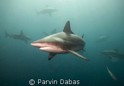 blacktip with alot of other blacktips swarming around by Parvin Dabas 